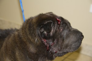 The entire side of her face was torn loose after an accidental crossing with another dog at animal control.