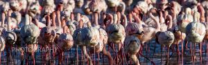 Greater & Lesser Flamingo