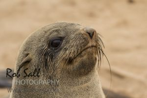 Cape Fur Seal - Cape Cross Namibia
